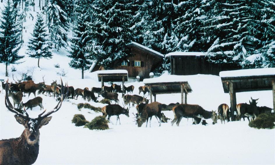 Rotwildfütterung im Winter; bereitgestellt vom Alpenwildpark Obermaiselstein